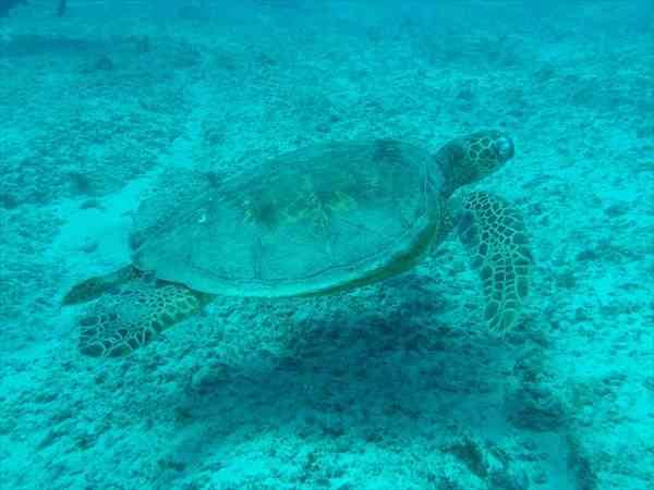 セブ島でウミガメに逢える現地ツアー